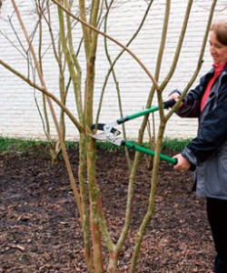 Correct crapemyrtle pruning
