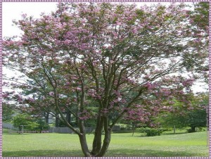 Correct crapemyrtle pruning!